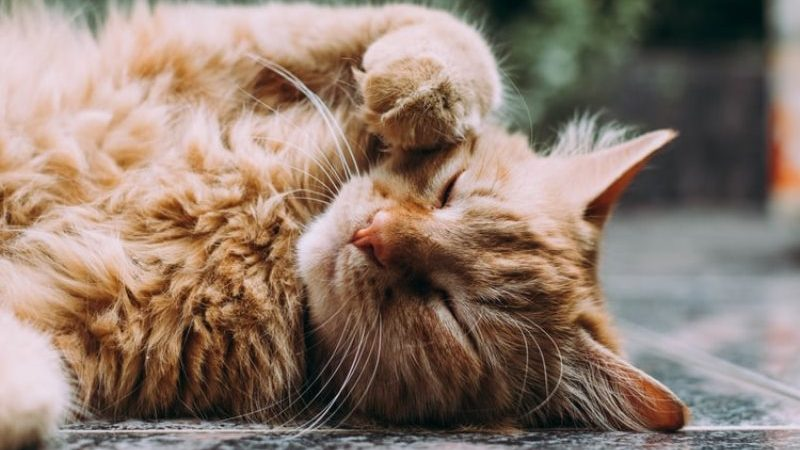Mengenal Jenis-Jenis Kucing Persia yang Populer Untuk Dijadikan Peliharaan